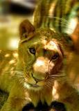 Lioness with pushy boyfriend
