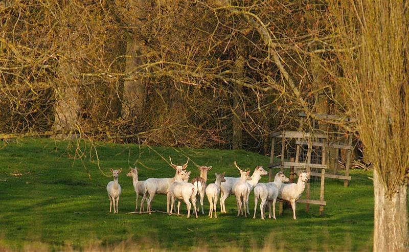 Bramshills white deer