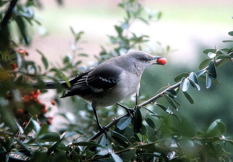 Mimus polyglottos <br>Northern mockingbird <br>Spotlijster