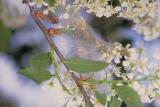 Yponomeuta-evonymellus-larvae.jpg