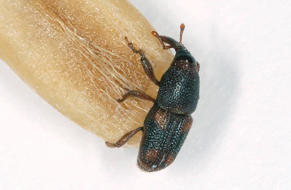 Sitophilus-oryzae.jpg