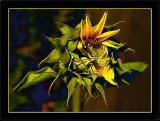 Sunflower Gone Awry
