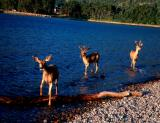 Three Deer Swimming