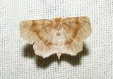 Common Metarranthis (Metarranthis hypochria)