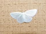 Fall Webworm Moth (Hyphantri cunea)