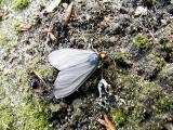 Virginia Ctenuchid Moth