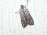 Streaked Dagger Moth (Acronicta lithospila)