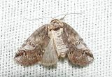 Subfamilies Sarrothripinae &Euteliinae