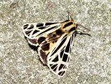 Anna Tiger Moth (Grammia anna) male