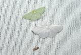 top: Wavy Lined Emerald (Synchlora aerata) Bottom: Pink Striped Willow Spanworm Moth (Cabera variolaria)