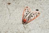 Arge Moth (Grammia arge) -underside