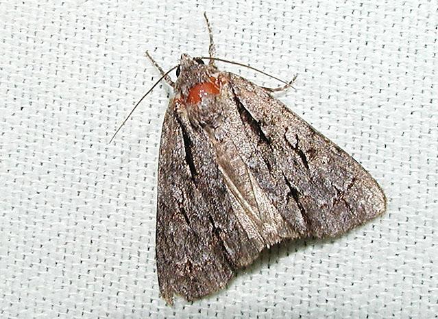Interrupted Dagger Moth (Acronicta interrupta)