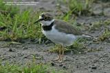 Little Ringed-Plover   Scientific name - Charadrius dubius   Habitat - Common, from ricefields to river beds.