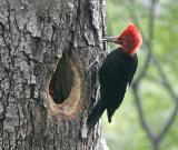 Magellanic Woodpecker male and chick and lunch.jpg