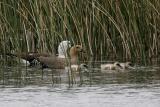 Upland goose family v2.jpg