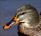 duck12355b.jpg