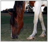 horsetulip6024.jpg