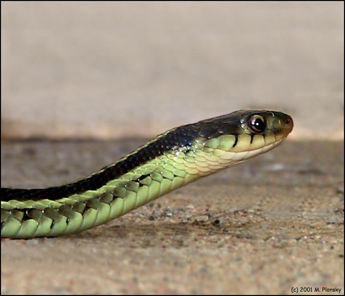 snake9772.jpg