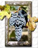 Merlot on the Vine