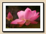 Lotus in the Rain