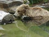 Sleeping Brown Bear at Washington National Zoo, 4/28/02