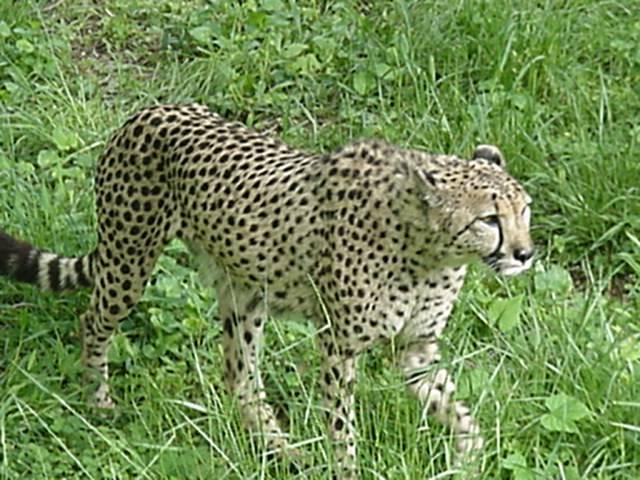 Cheetah at Washington National Zoo, 4/28/02