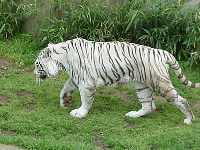 White Tiger at Washington National Zoo, 4/28/02
