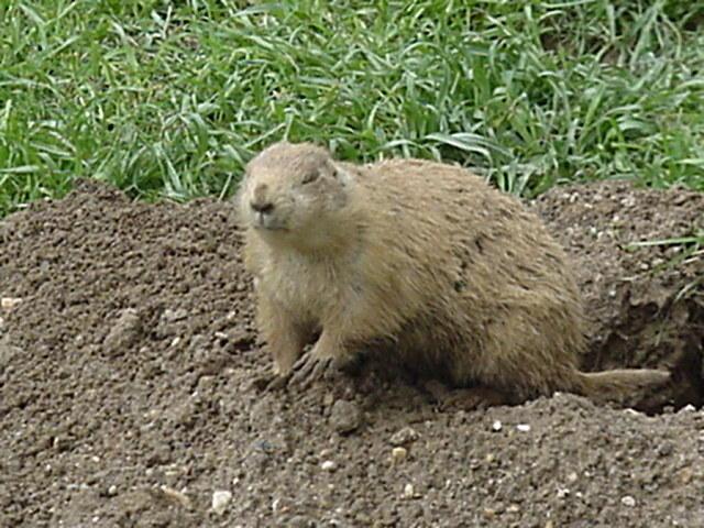 Prairie Dog at Washington National Zoo, 4/28/02