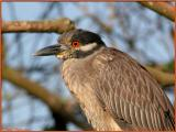 Juvenile Night-Crowned Heron