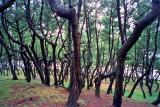 oarai trees