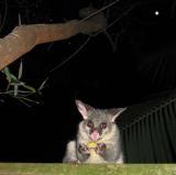 Brushtail possum on fence