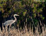 Great Blue Heron 05_03_05.jpg