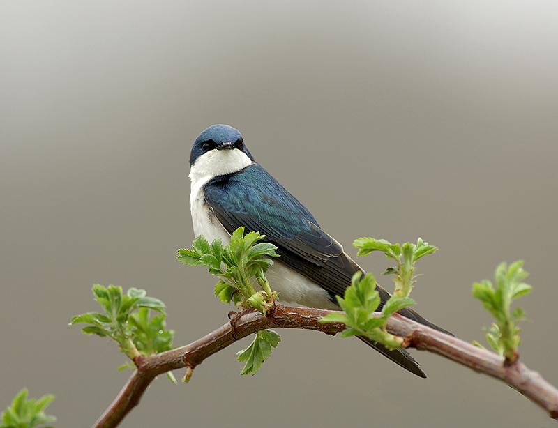 Tree Swallow on Thorns Web.jpg