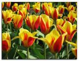 Tulip delight