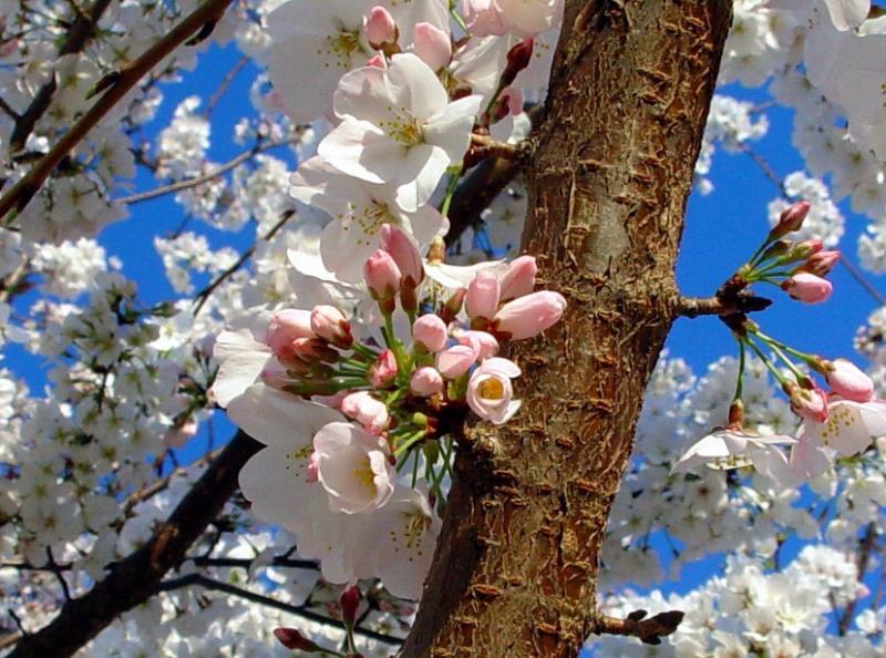 <B>Cherry Tree in the Spring</B><br>Callisto