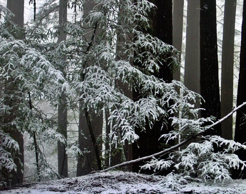 <b>Redwoods in the Snow 1</b><br><em><font size=-1>by Rayna</font></em>