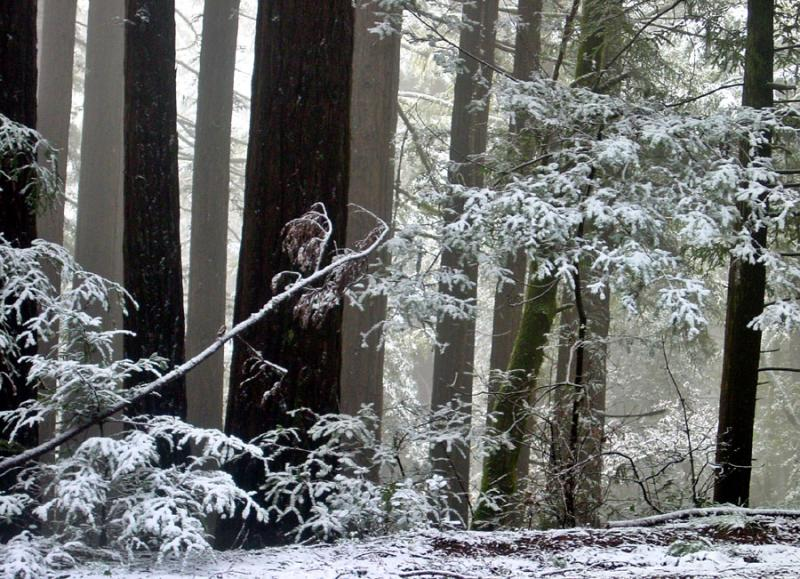 <b>Redwoods in the Snow 2</b><br><em><font size=-1>by Rayna</font></em>