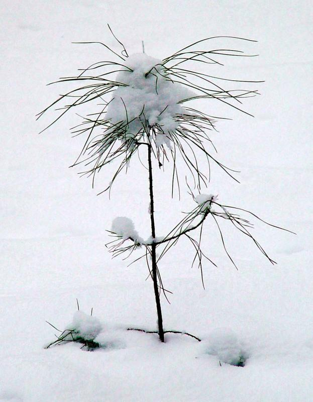 <B>1st Place Tie - Tiny Pine</B><br><fontsize=-1> by Faye White</font>