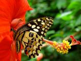 Corsican SwallowtailbyLisa Young