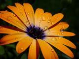Orange SymphonybyLisa Young