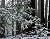 Redwoods in the Snow 1by Rayna