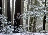 Redwoods in the Snow 2by Rayna