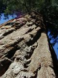 Sequoia by Erichocinc