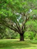 Live Oak with Spanish MossFaye White