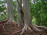 Rainbow Eucalyptuskudbegud