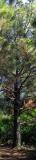 Pine Pano David Pichevin