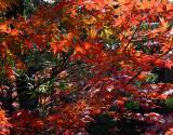Jotenji Leaves    by Helen Betts