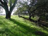 California Live Oaksby Ann Chaikin