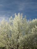 Spring Blossoms Ed Corneau