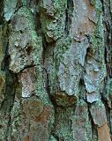 Pine BarkFaye White